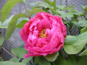 The long-awaited peony