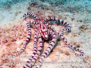 Mimic Octopus photographed during a dive in Secret Bay, Puerto Galera, Philippines.