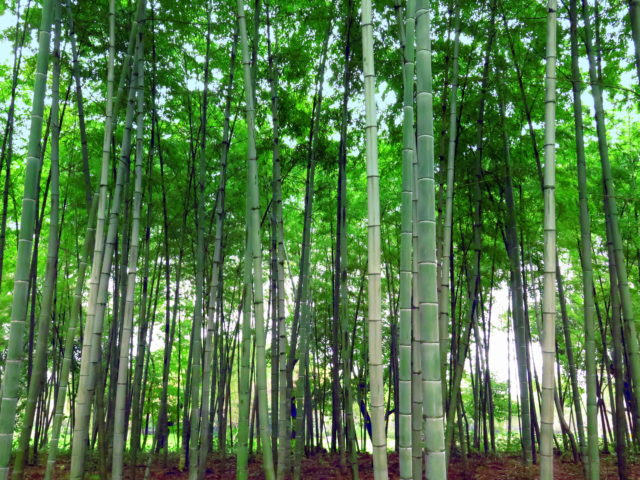 Century Park's bamboo forest. I looked, but I didn't see any pandas munching away at the bamboo, unfortunately. Pudong, Shanghai, China, Asia.
