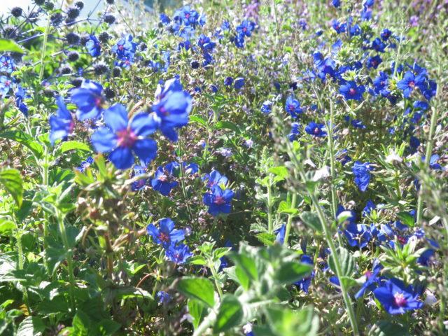 Blue lovelies in Yerba Buena Gardens. San Francisco, United States, North America.
