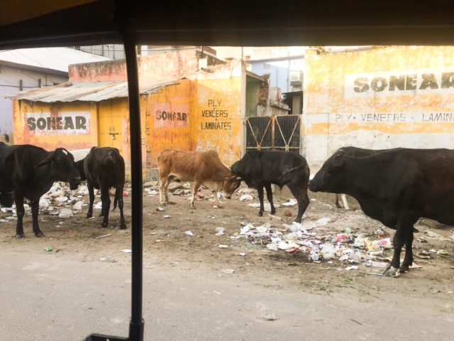 I spied this hungry crew of cattle from the back of a tuk-tuk. Jaipur, India, Asia.