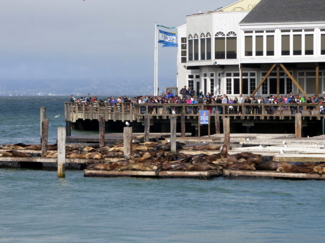 The lazy sea lions of Pier 39, viewed from Pier 41. San Francisco, United States, North America.
