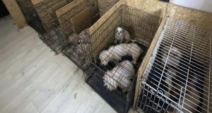 Ankara'da bodrumda 68 köpek bulundu: Köpeklerin ses tellerinin alındığı iddia edildi