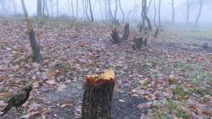 Arnavutköy'de çam ağaçlarını kesen kişilere suçüstü