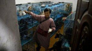 Çinli hayvansever evinde bin 300 köpekle yaşıyor