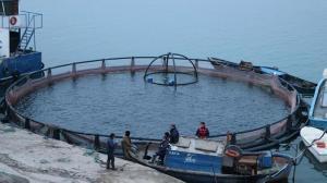 Fırat Nehri'nde yetiştirilen somon balıkları dünyaya ihraç ediliyor