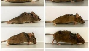 Almanya'da çığır açan çalışma: Belden aşağısı felçli olan fareler tekrar yürüdü