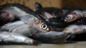 Son dakika… Karadeniz'de hamsi avı 10 gün yasaklandı