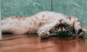 Pandemide evde kalınması kedilerin psikolojisini bozdu, antidepresan kullanımı arttı
