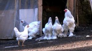 Süs tavuğunu hobi olarak besledi sonra kazanca dönüştü: Yumurtası 80 liradan alıcı buluyor
