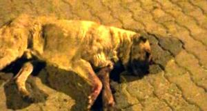 Vahşet Bitmiyor! Mersin'de Bir Köpek Gözleri Oyulmuş ve Sopayla Dövülmüş Halde Bulundu…