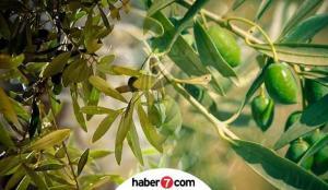Zeytin yaprağı faydaları nelerdir? Zeytin yaprağı çayı nasıl demlenir?