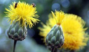 Kuşadası'nın endemik bitkisi 'tülüşah' koruma altında