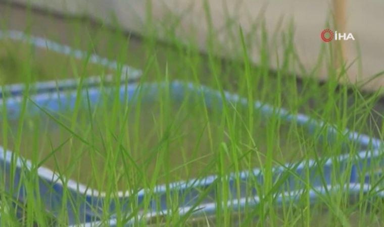 Uzaydan Çin'e getirilen çeltik tohumları filizlendi