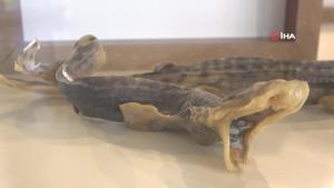 Çukurova'nın ilk deniz canlıları müzesi Mersin'de açılıyor