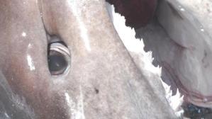 Datça sahiline gebe köpek balığı vurdu