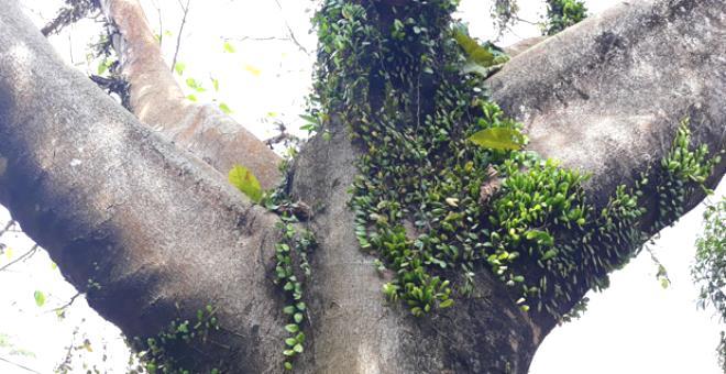 Gölgesinde uyuyanın bir daha uyanamayacağına inanılıyor! İşte dokunanı öldüren ağaç
