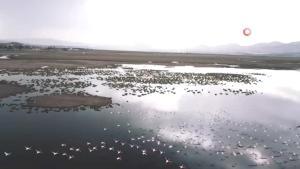 Sazlıktaki Flamingolar görenleri cezbetti