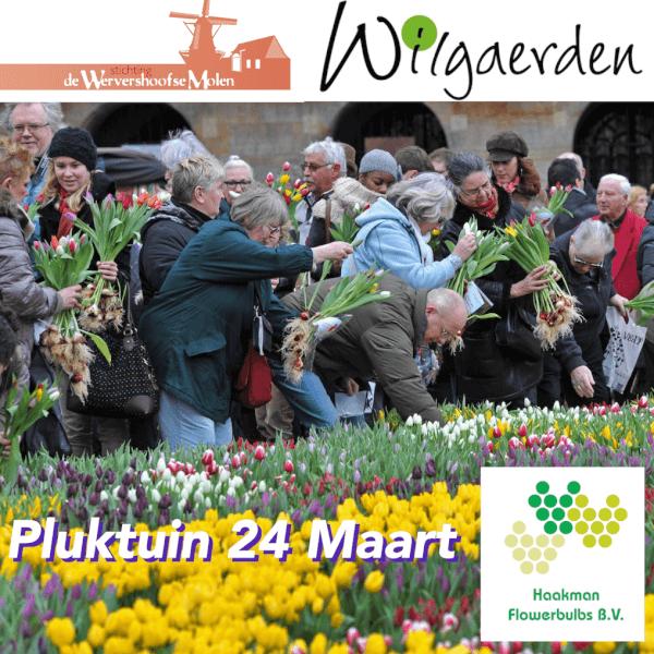 tulpen pluktuin Haakman 24 maart in Wervershoof