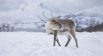 Get up close with a reindeer- Norway