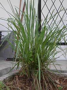 A clump of lemongrass, <em>serai</em>.