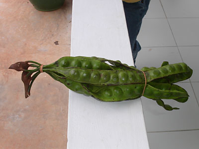 The green beans are inside the leathery pod.  Some cook the bean together with the pod and eat both.