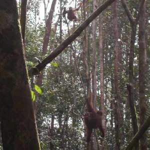 Orangutans brachiating through the jungle