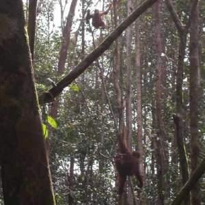 Orangutans brachiating through the jungle