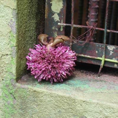 Unusual purple fruit with nerf bristles