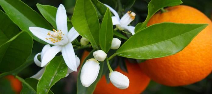 La fleur d'oranger tisane