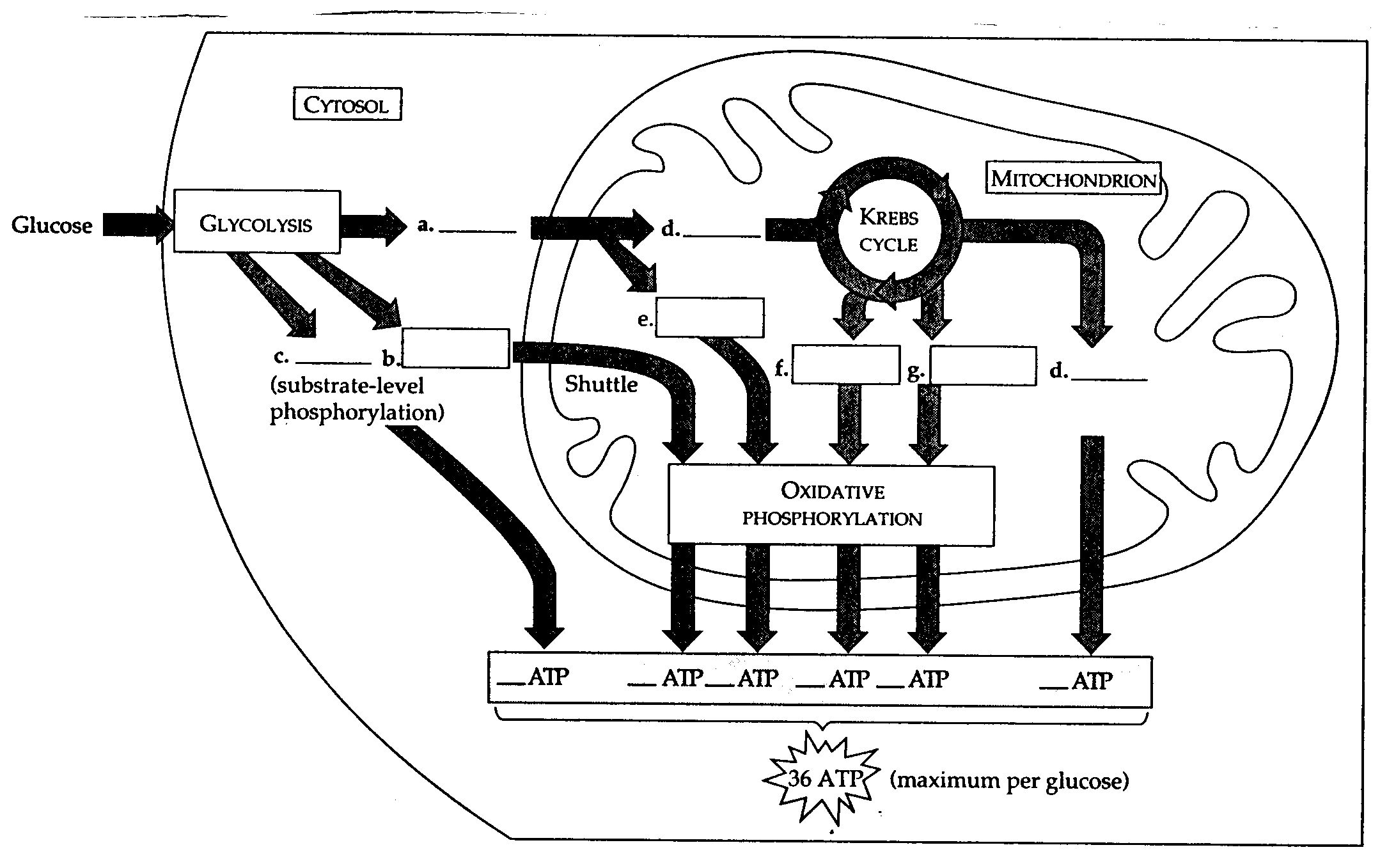 Cellular Respiration Concept Map
