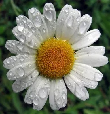 chamomile-therapia