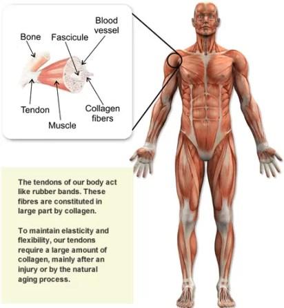 human_body_collagen