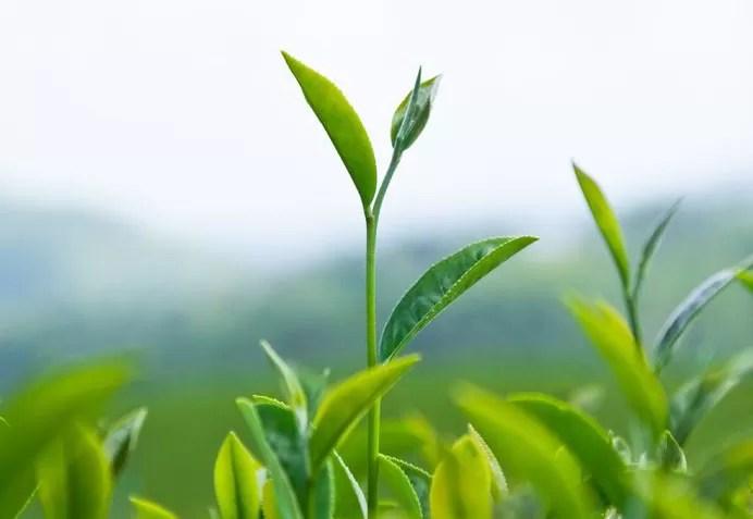 camellia-sinensis-h