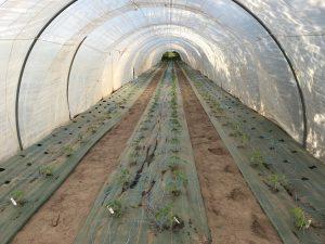 Mise en place des plants de tomates sous la serre