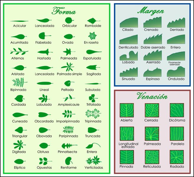 656px-Leaf_morphology_es
