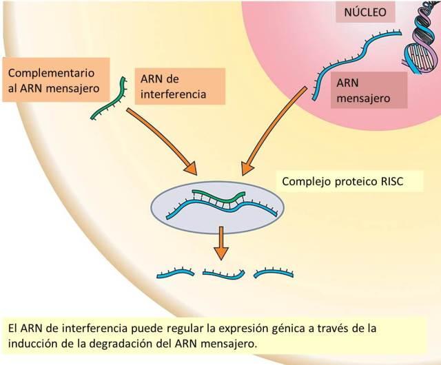 Imagen 2. ARN de interferencia como mecanismo epigenético.