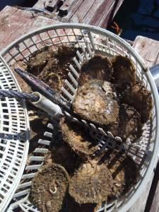 cultuvo acuicultura de ostras