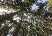 Una nueva técnica para densificar madera podría encontrar varias aplicaciones en la producción de autos y edificios.
