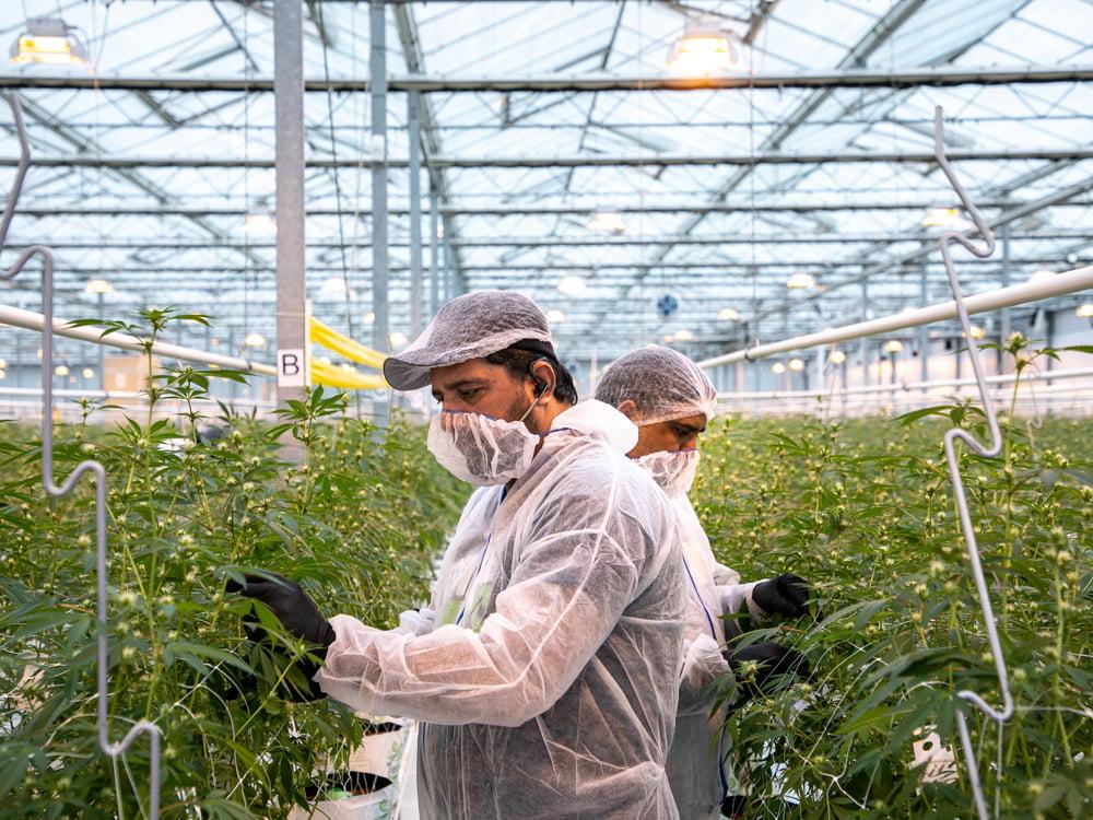 Productores celebraron la reglamentación de la 'Ley de Cannabis Medicinal'