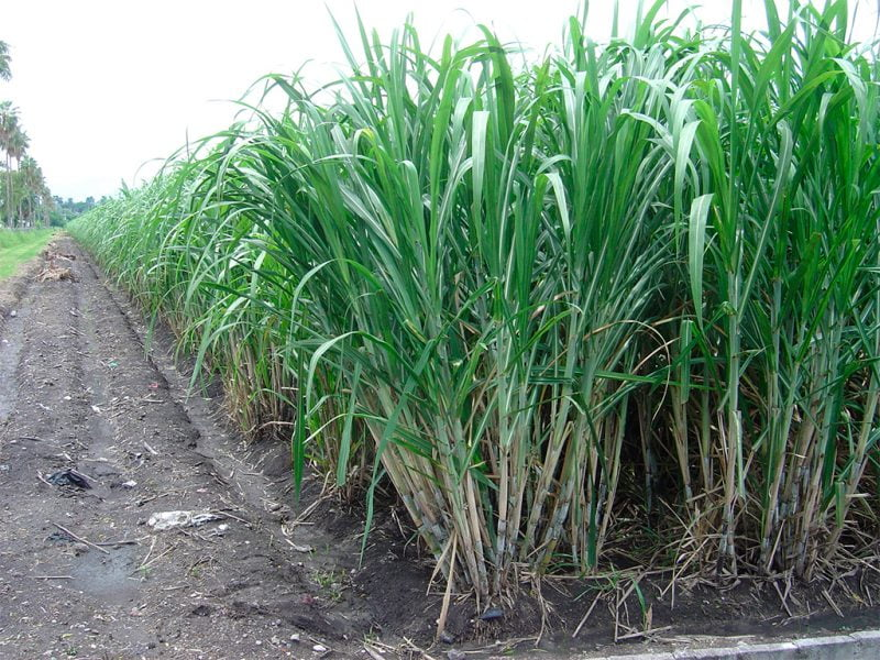 Compañía líder en biología sintética certifica sustentabilidad en toda sus operaciones con caña de azúcar