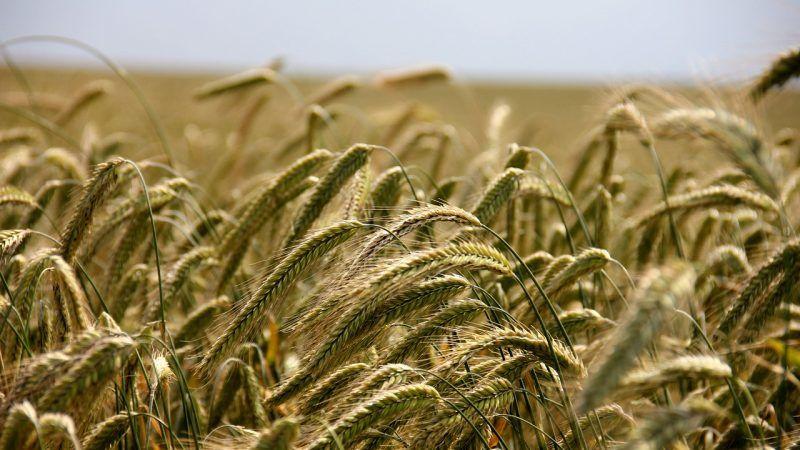 Productores canadienses adaptan la rotación de cultivos al cambio climático y el tema se mete de lleno en la campaña electoral