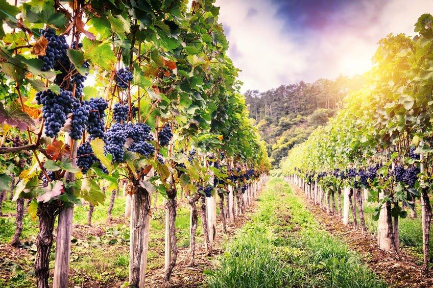 Los fertilizantes foliares y su aplicación en vids para dar más aroma a los vinos