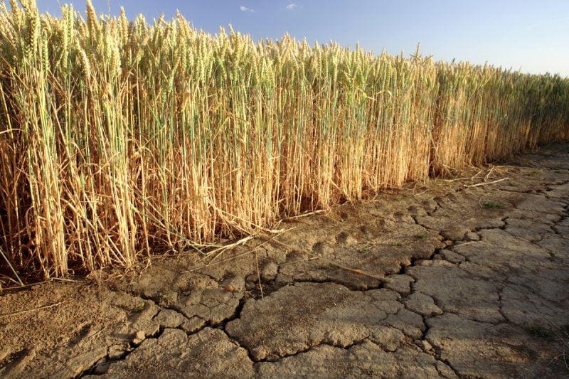 Australianos crean un método para identificar trigo tolerante a estrés hídrico