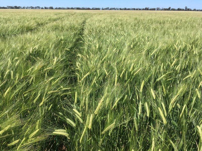 Australia abre nuevos mercados certificando sustentabilidad en la cebada