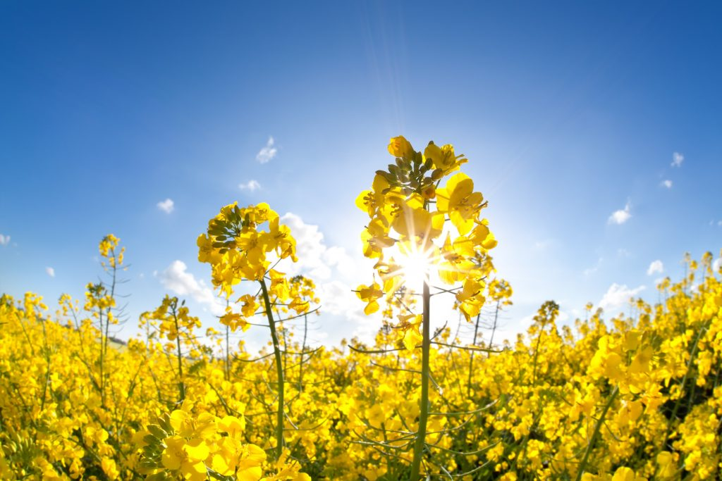 Carinata: innovación sustentable en cultivos de servicio con rentabilidad