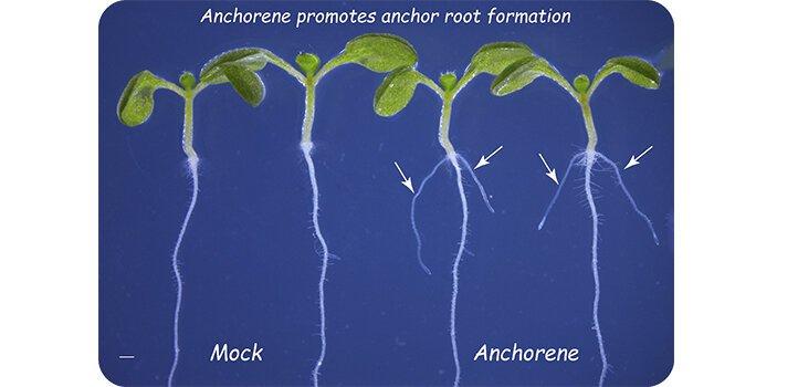 Desarrollos biotecnológicos logran mejores raíces para potenciar el crecimiento de cultivos