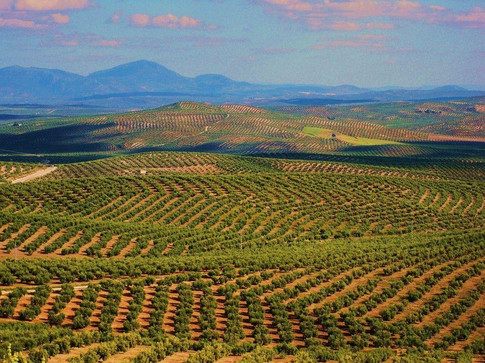 Cambio de tendencia en la industria olivícola y la producción será menor al consumo