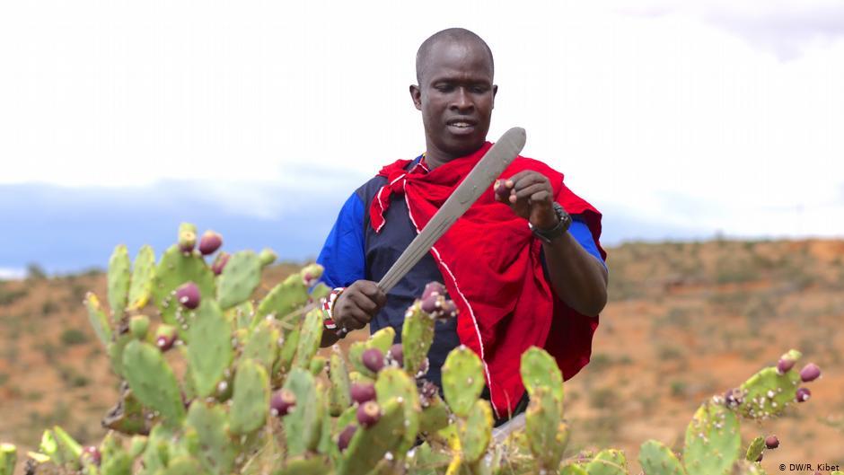 En Kenia, los pastores convierten un cactus invasor en biogás