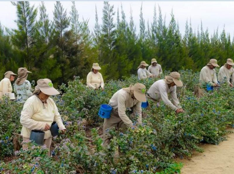 Perú se consolida como primer exportador de arándanos